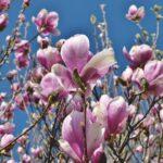 """""""Să vezi magnolia în floare ce îţi răpește a ta privire…"""""""